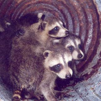 Raccoons found in a fireplace